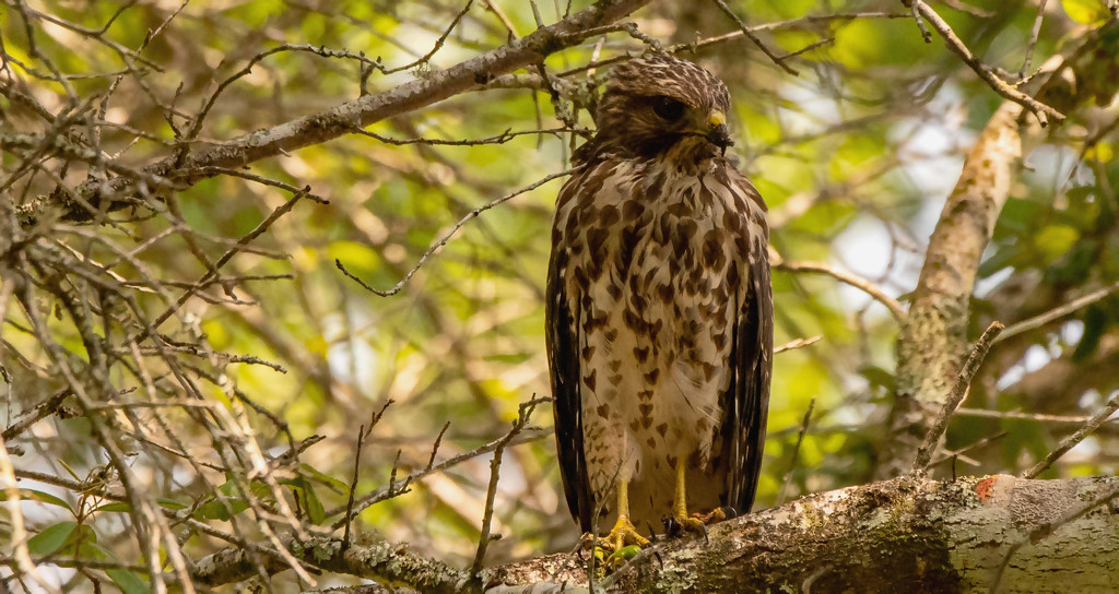 A Young Red Shouldered Hawk! by rickster549