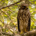 A Young Red Shouldered Hawk!