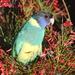 Day 5 - Australian Ringneck Parrot 1