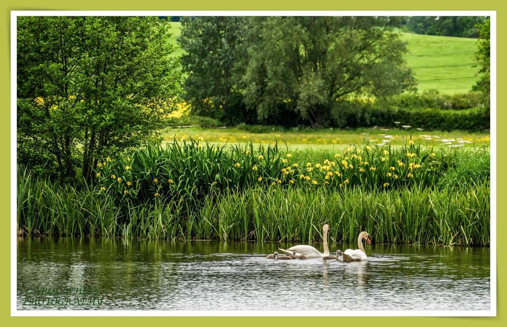 Swan Family,Kelmarsh Hall by carolmw