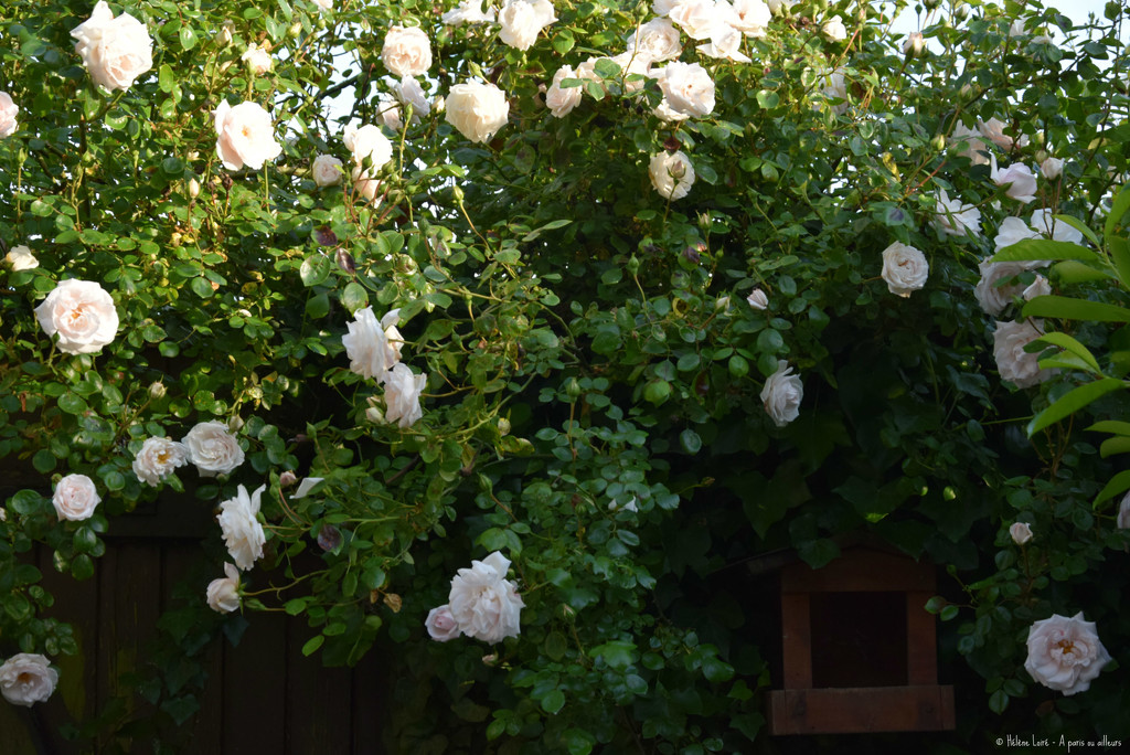 so many roses  by parisouailleurs