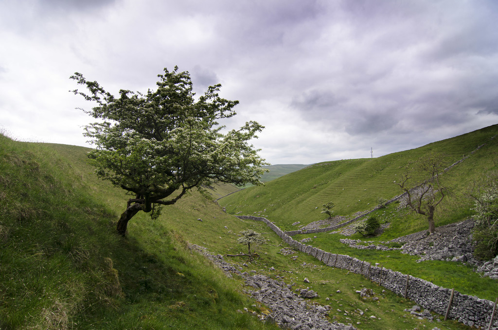 Lone tree at Conistone Dib by fueast