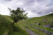 10th Jun 2021 - Lone tree at Conistone Dib