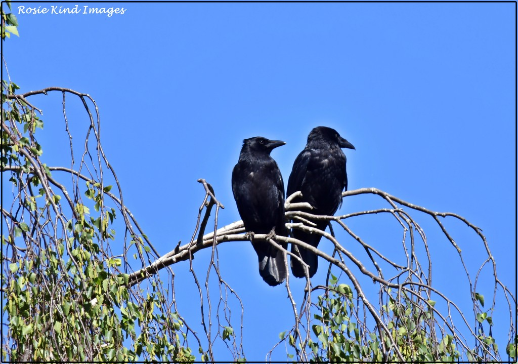 Two old crows by rosiekind