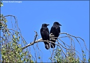 14th Jun 2021 - Two old crows