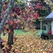 Fall, Sweet Gum Tree