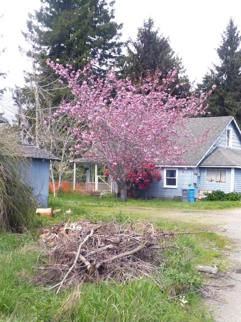 Spring Cherry Tree by pandorasecho