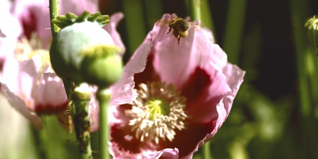 The Pollen  Basket- Corbicula by moonbi