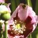 The Pollen  Basket- Corbicula