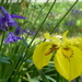 Aquilegia and yellow iris by snowy