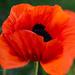 LensBaby Orange poppy