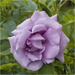 Mauve Rose by pcoulson