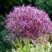 Mi..Allium