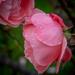Kissing roses