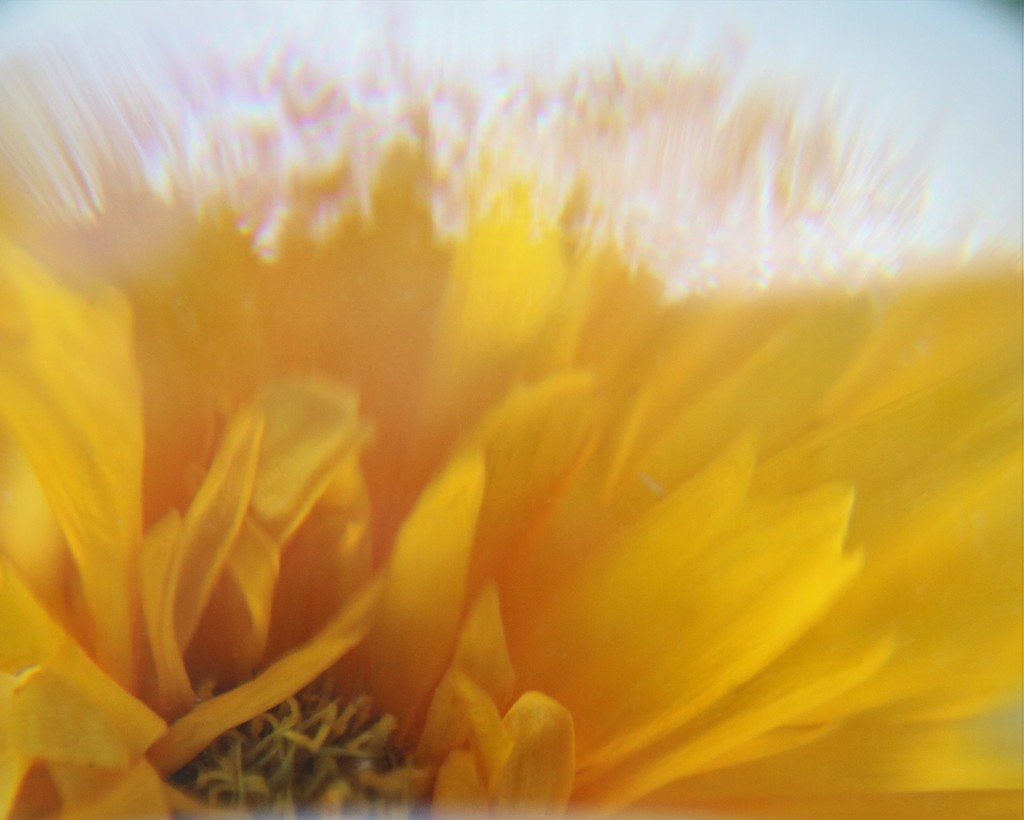 June 14: Coreopsis and Storm Globe Effect by daisymiller