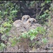 Juvenile Great Horned Owls...