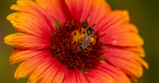 14th Jun 2021 - The Bee Covered in Pollen!