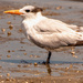 Royal Tern Wading in the Mud!