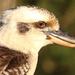 Kookaburra beauty
