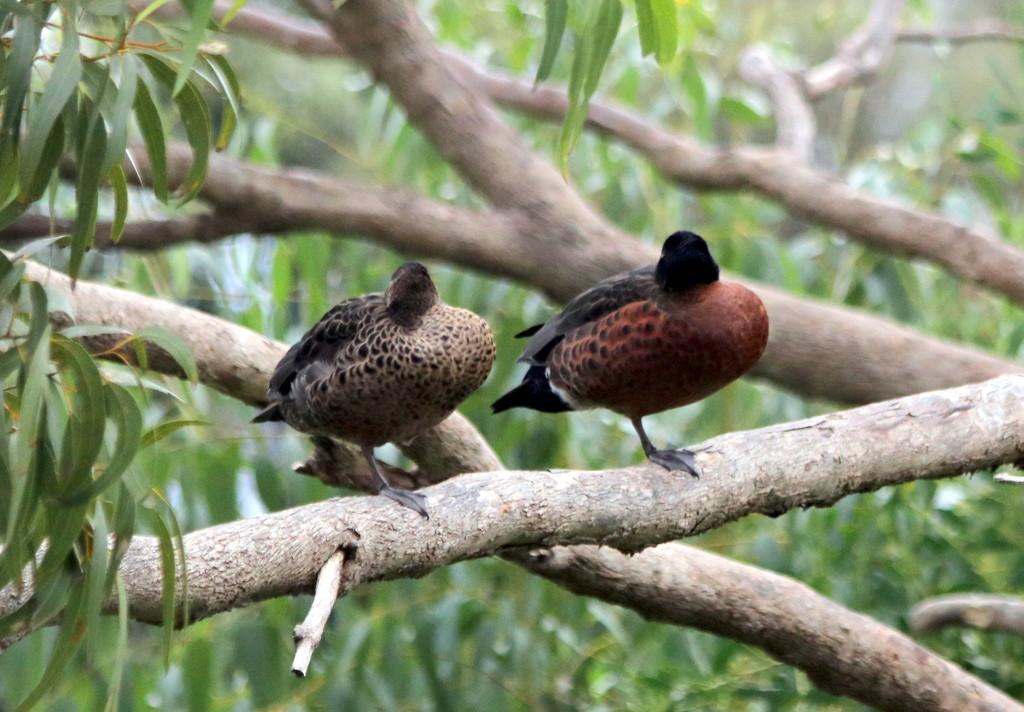 One legged headless tree ducks! by gilbertwood