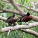 One legged headless tree ducks!