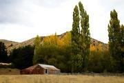 11th Jun 2021 - Poplar trees in Autumn