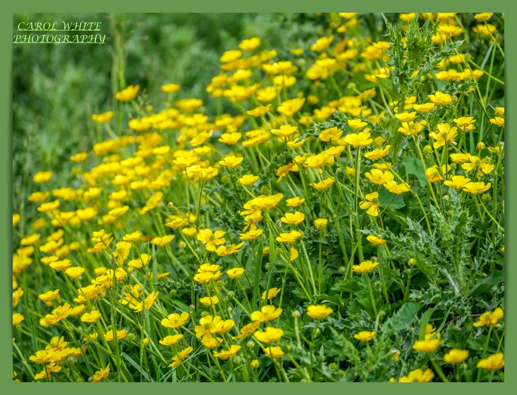 Meadow Buttercups And Thistles by carolmw