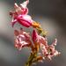 Drying Oleander flowers