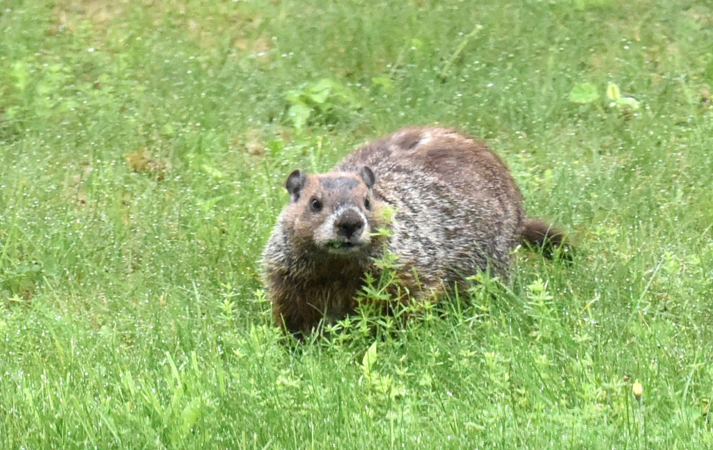 Momma Groundhog by dianen