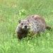 Momma Groundhog