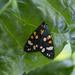 2021 06 15 - Scarlet Tiger Moth