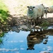 Sheep relections