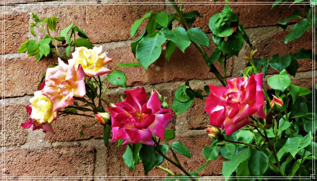Masquarade Rose by beryl