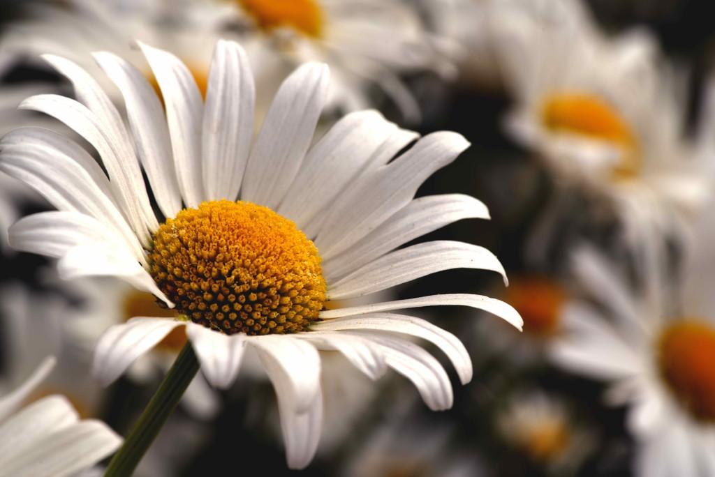 Daisy  by moonbi
