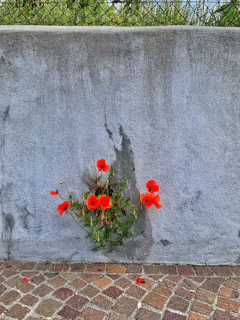 Poppies in the wall.  by cocobella