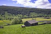 15th Jun 2021 - Sheep and Buttercups