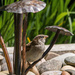 Sparrow on our water feature on 365 Project