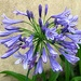 Nike blue lily (agapanthus) are in full bloom now.