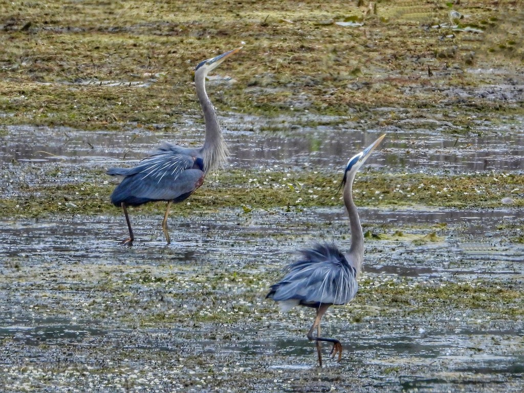 doing the heron strut… by amyk