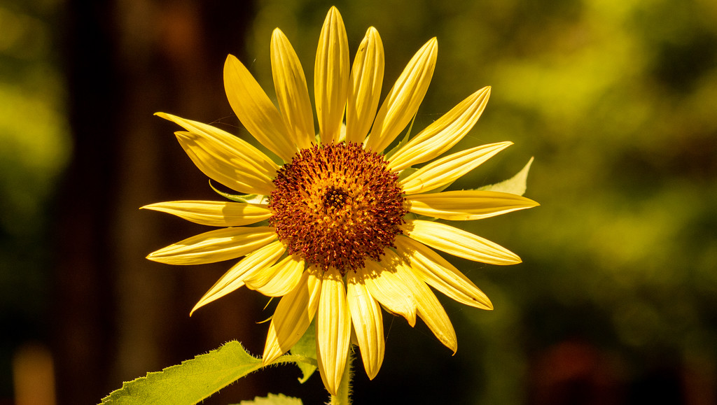 Think It May be a Sunflower! by rickster549