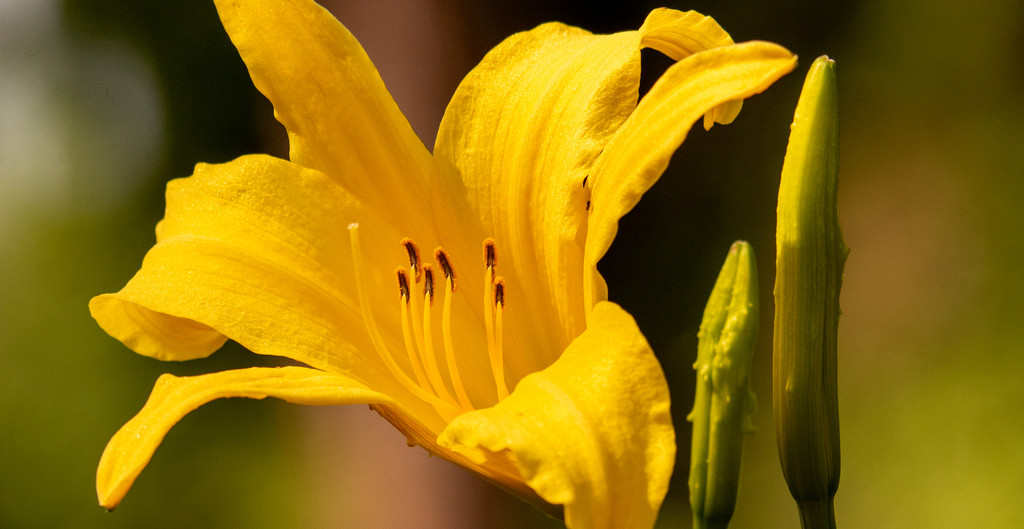 One of the Lily Flowers by rickster549