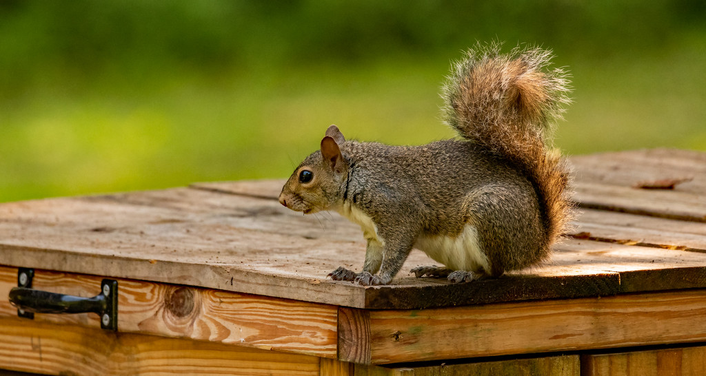 Squirrel on the Trash Bin! by rickster549