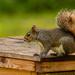 Squirrel on the Trash Bin!