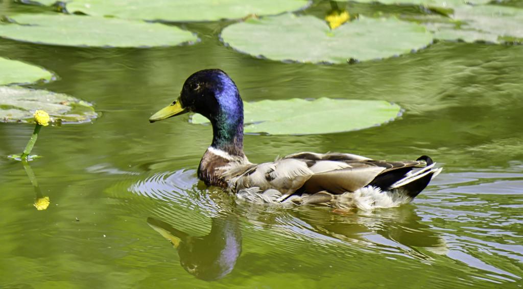 Duck. by tonygig