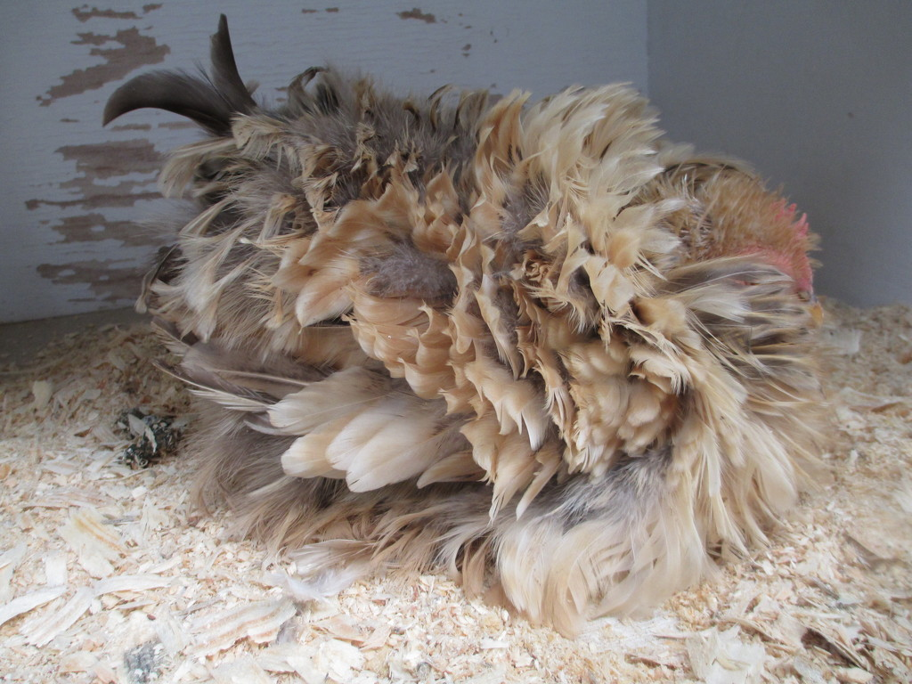 A living Chook(fowl) all cuddled up by 777margo