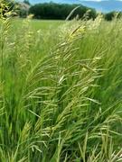 14th Jun 2021 - Blowing Grass