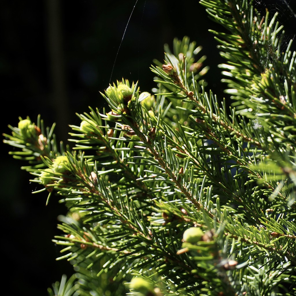 New growth on last year's Christmas tree  by jacqbb