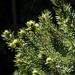 New growth on last year's Christmas tree