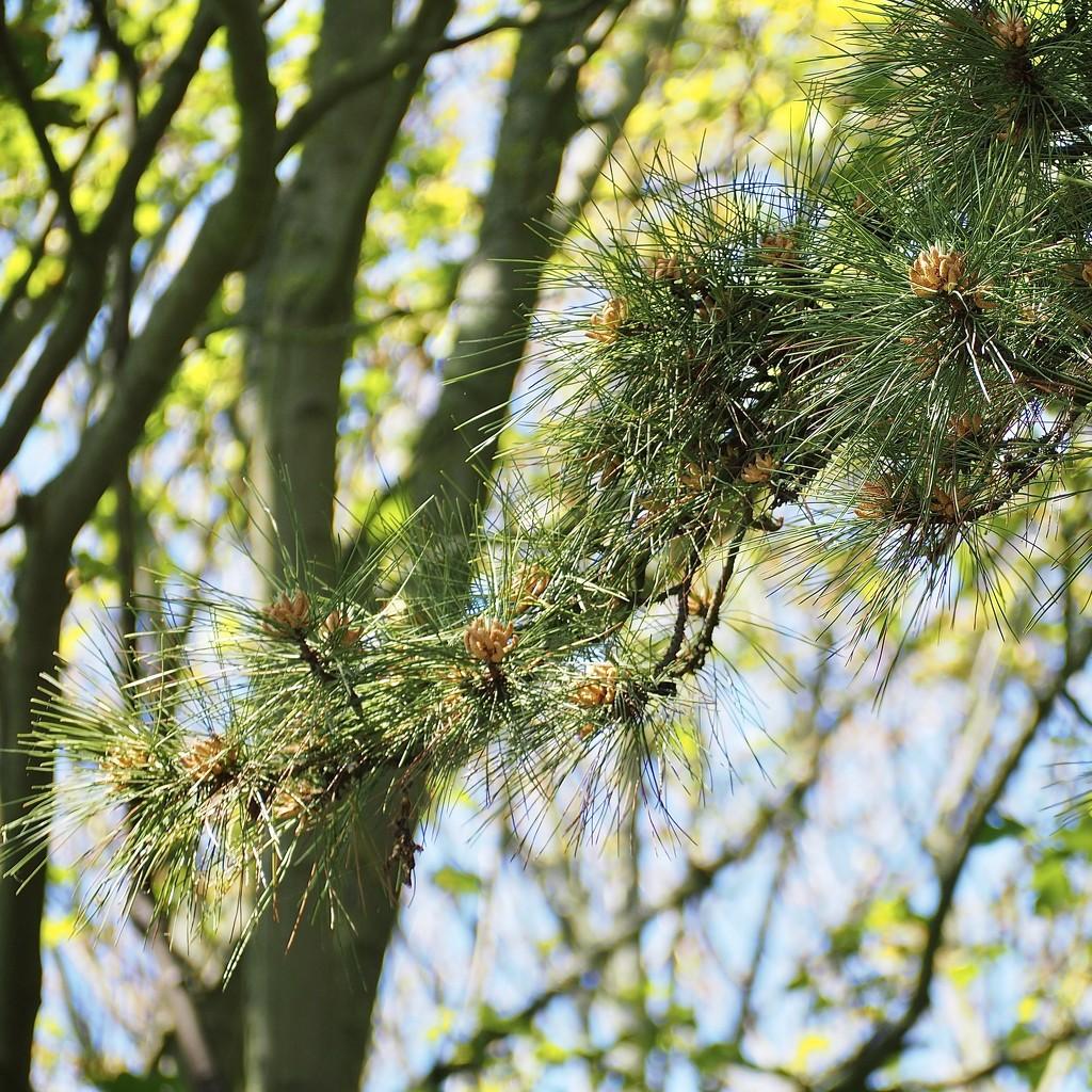 Pine tree by jacqbb