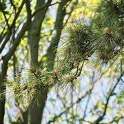 16th Jun 2021 - Pine tree